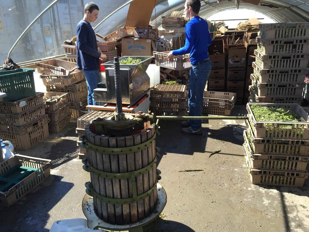 Andrew and Eric use the press to extract juice from the green grapes.
