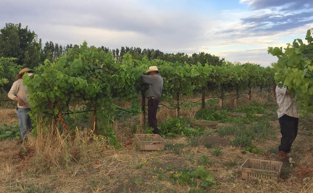 The crew thins the vines and removes bunches of green grapes for verjuis.