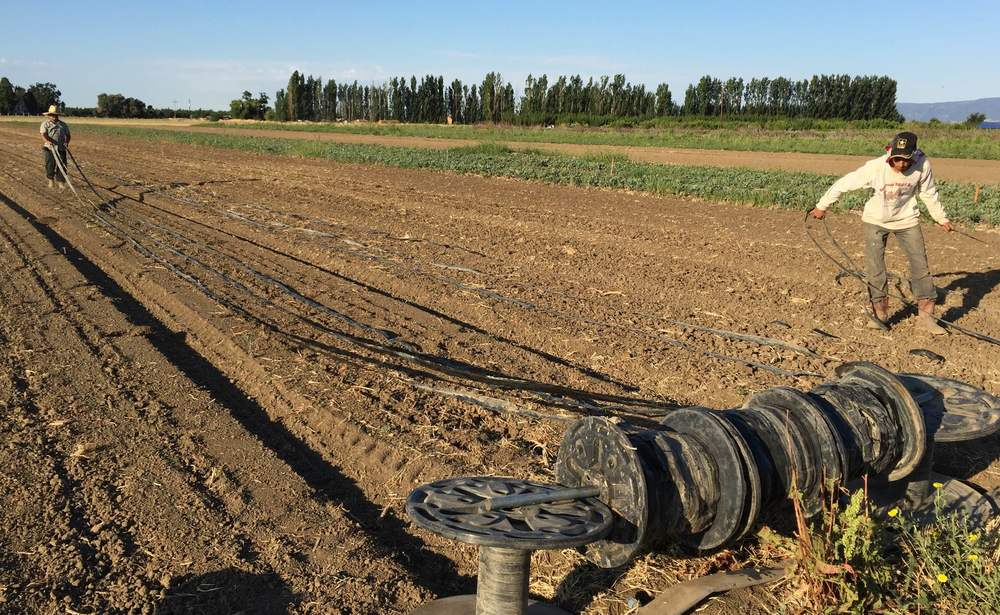 Laying out drip line on pumpkins to save water