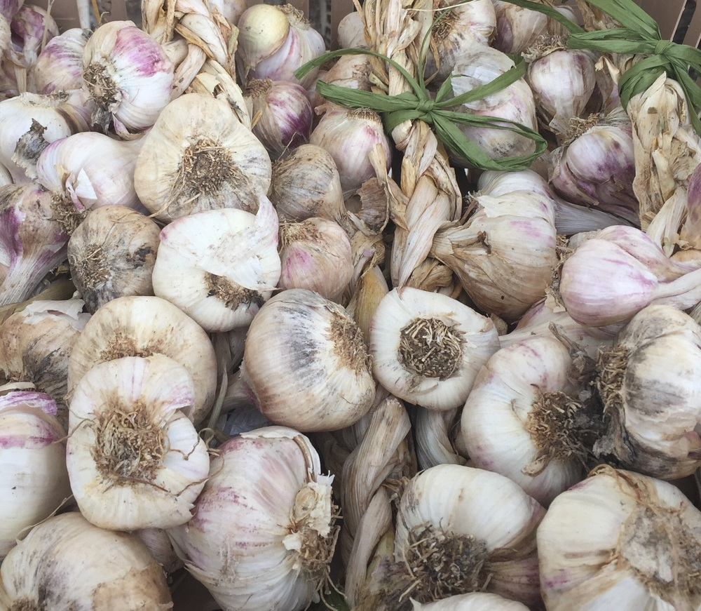 Starting to braid the garlic crop.