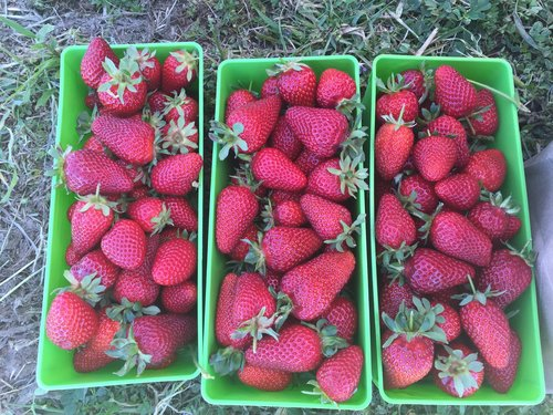 Strawberry day 1 eatwell farm this past sunday was the first of four strawberry days there were a bazillion berries with many flowers and green berries coming up mightylinksfo