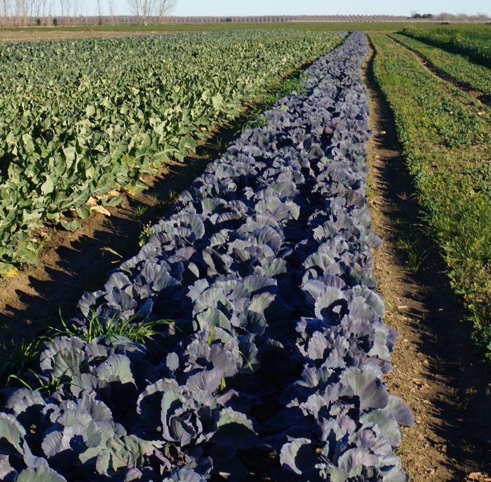purple cabbage.jpg