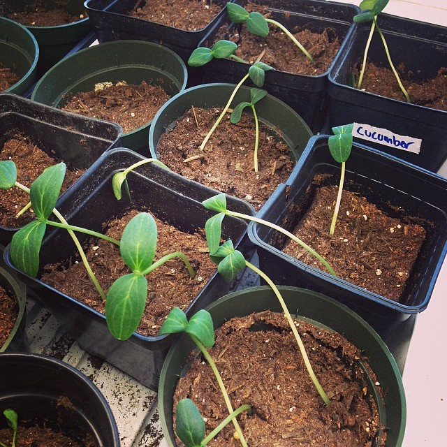 Seedling progress this week at 601 Tully