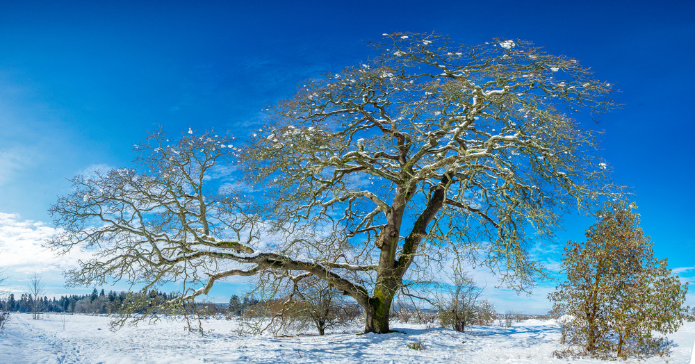SnowOak.jpg