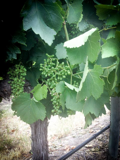 Grape Growth Dec 2015