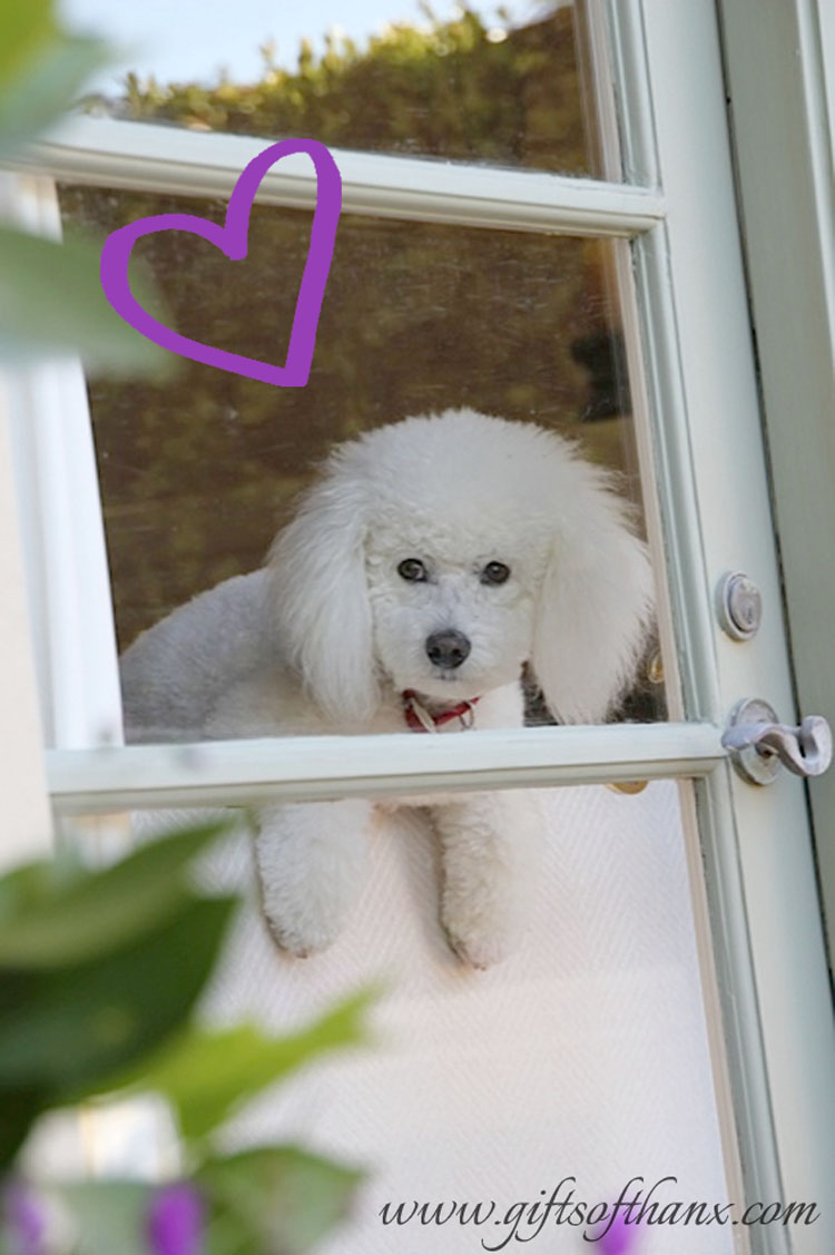 french-bichon.jpg