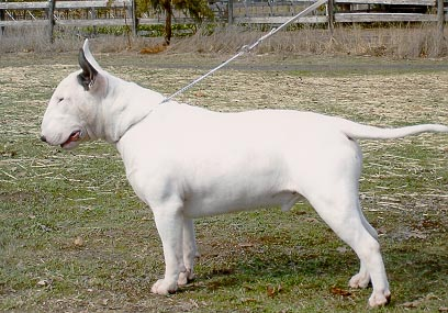 Billy The Bull Terrier.jpg