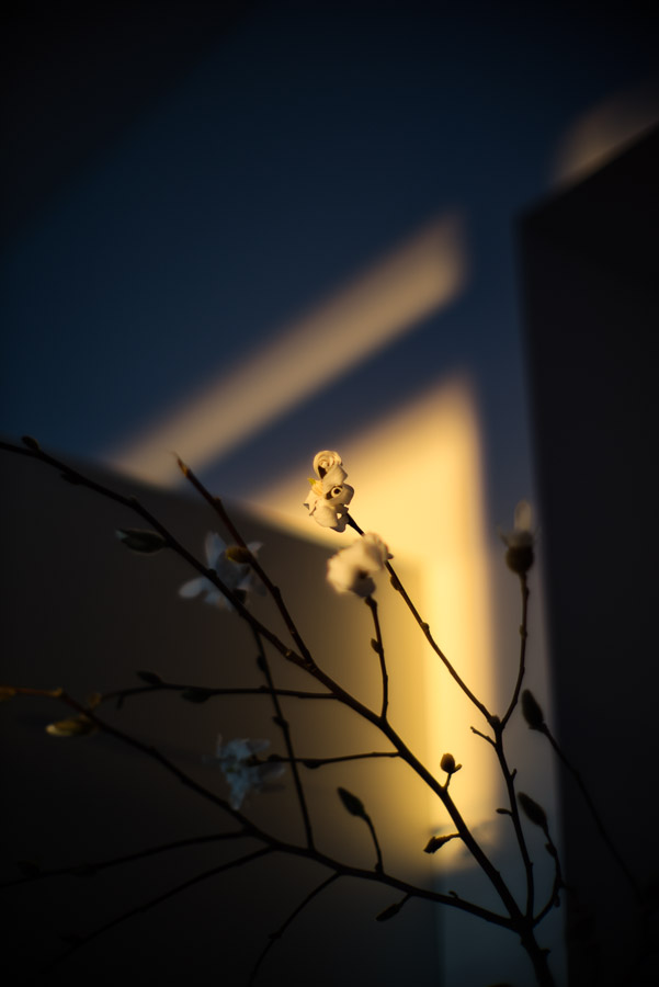 Another Magnolia in the late afternoon sun.