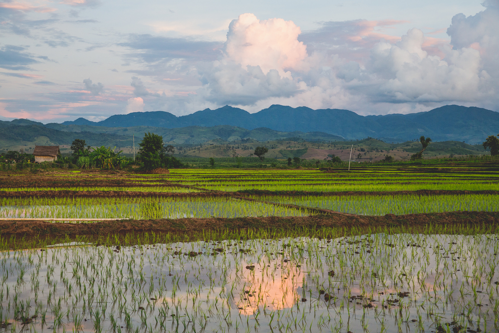 Rice fields at sunset.