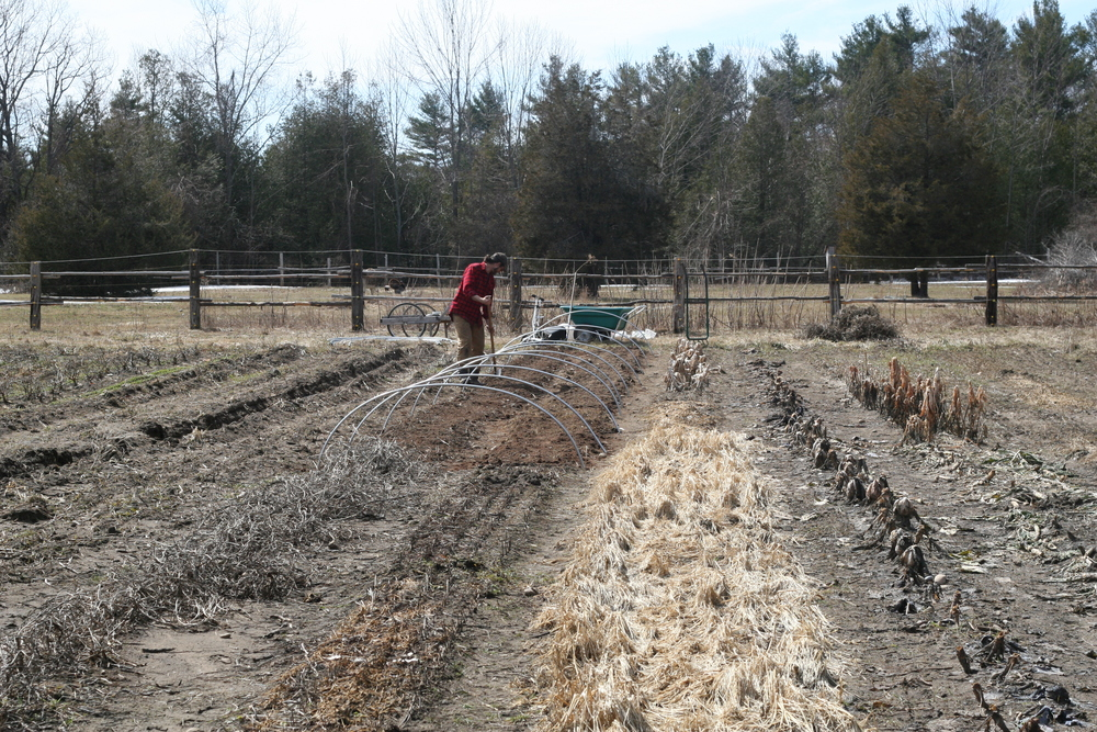 Prepping the soil for peas.
