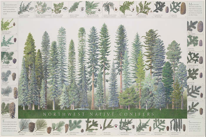 Northwest Native Conifers