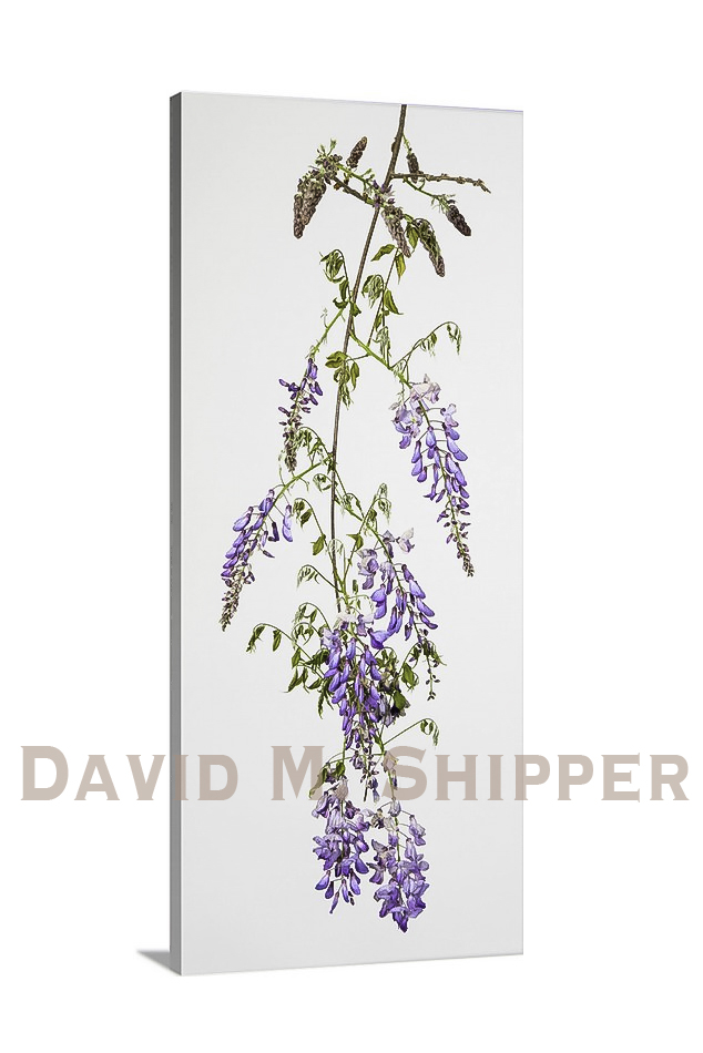 """Wisteria"" by David M. Shipper"