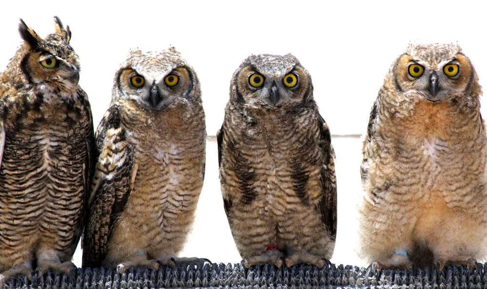 These young Great Horned Owls were raised at Ojai Raptor Center in the spring of 2013 when they were orphaned or displaced from their nest. All were released in the summer of 2013.