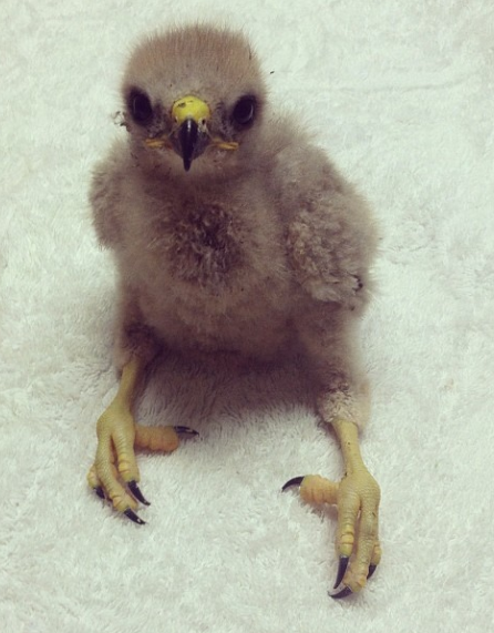 This baby Red-Shouldered Hawk came to ORC in spring 2014 and was quickly transferred to another center to be raised by a foster adult Red-Shouldered Hawk, until it is ready to go back to the wild.