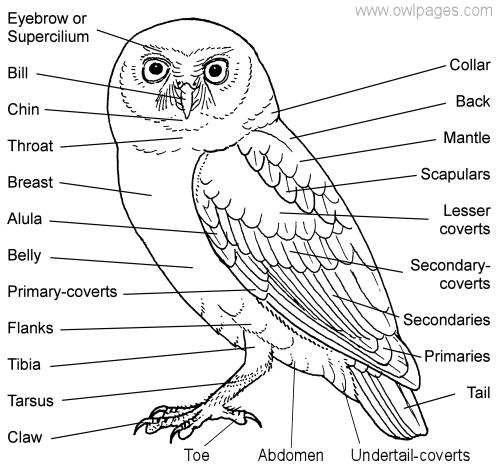 Owl Body Parts Owl_parts_1.jpg