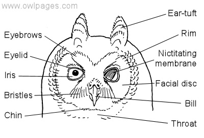 owl anatomy diagram
