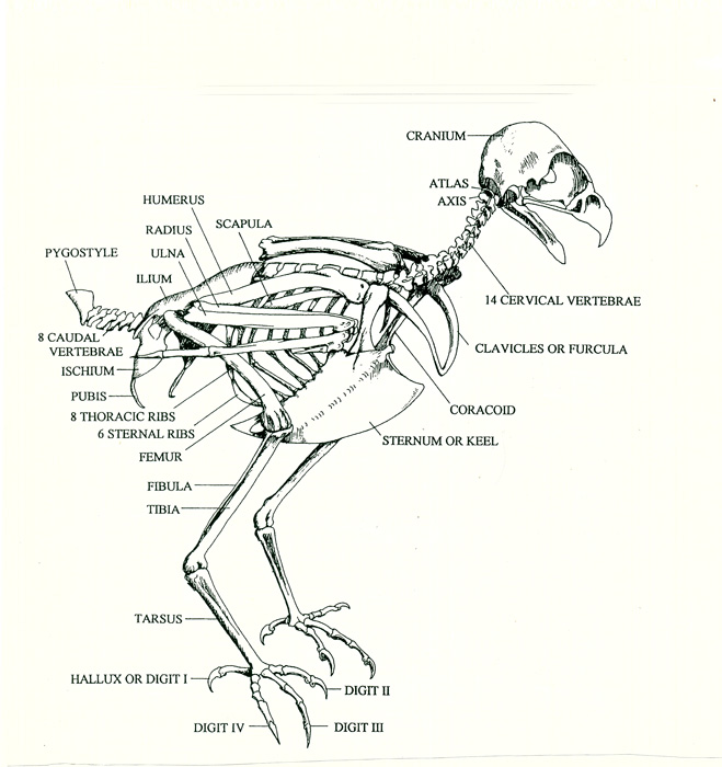 Hawk-skeletonfor-web.jpg