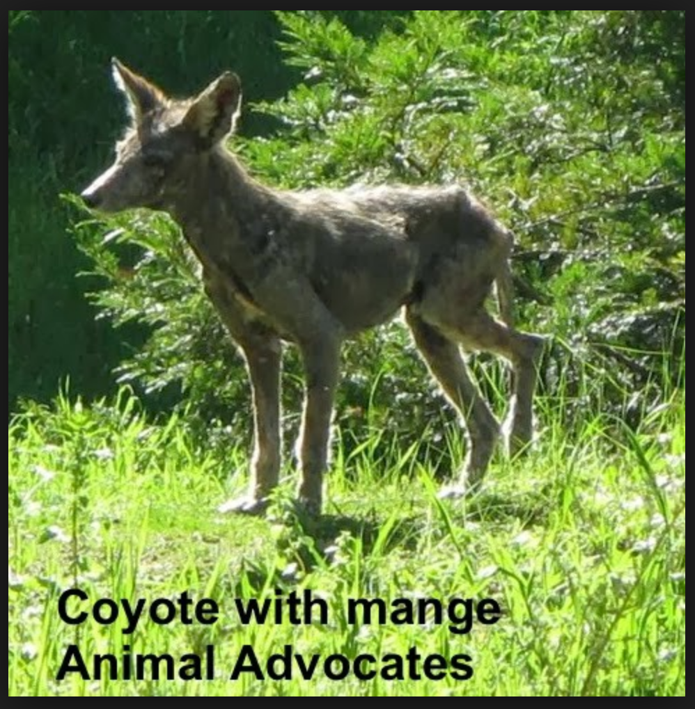 Adult coyote with mange. When large mammals ingest rodenticides, it is hard for them to fight a mange infestation, they often lose the majority of their hair, and develop sores.