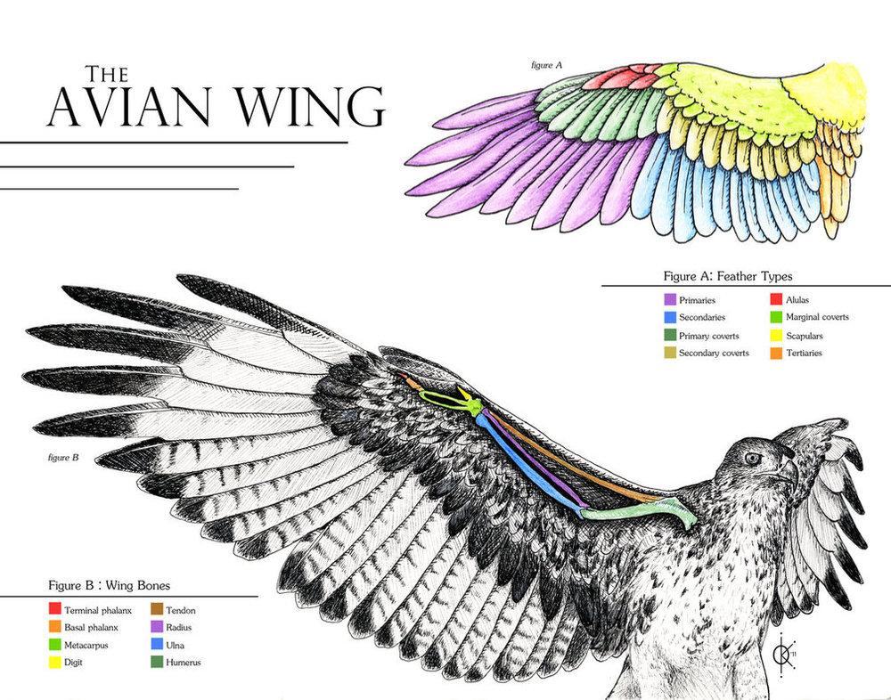avian_wing_anatomy_by_silverfyre-d4e2qil.jpg