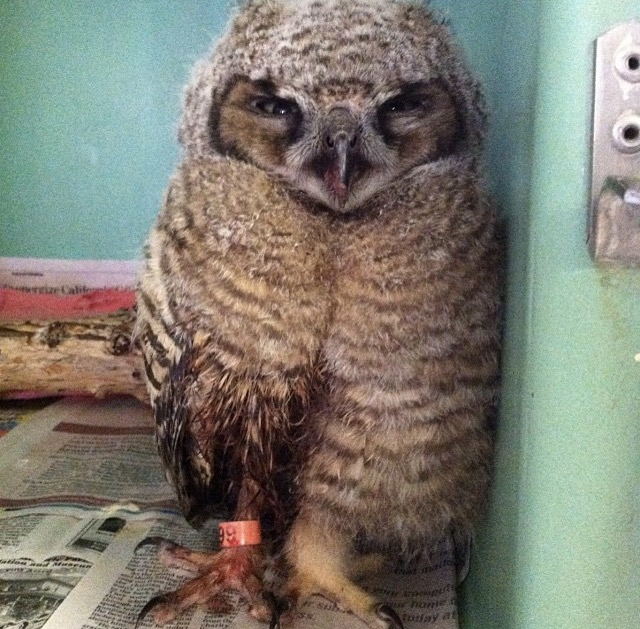 Great Horned Owlet suffering from uncontrolled bleeding.