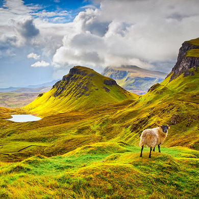 Curious sheep, Trotternish Ridge, Isle of Skye, Scotland.jpg