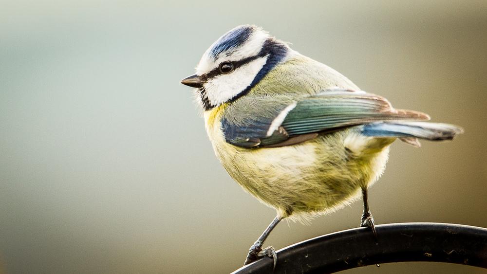 Blue Tit-1.jpg