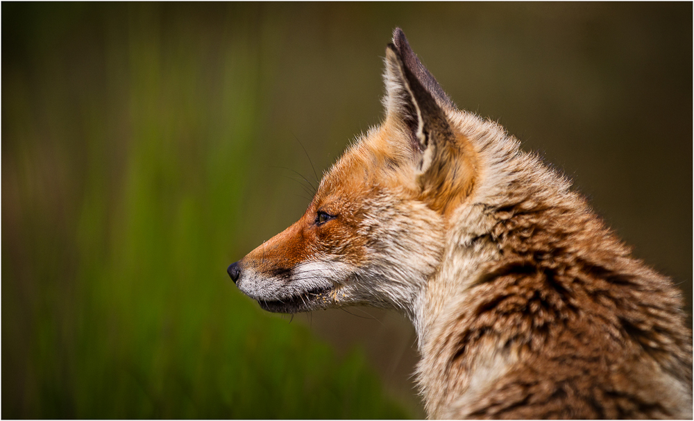 Fox in Profile.jpg