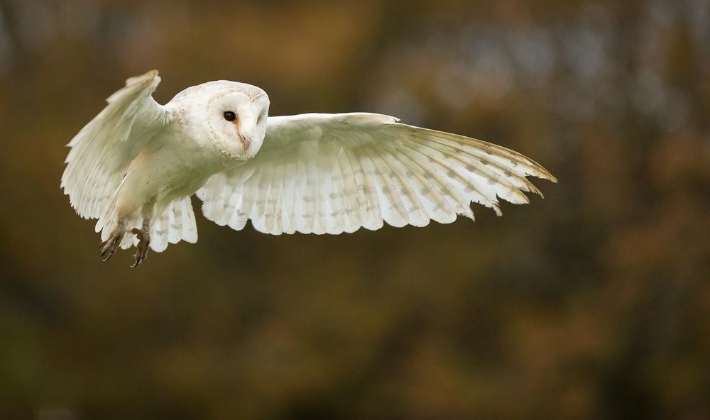 Barn Owl Hovering.jpg