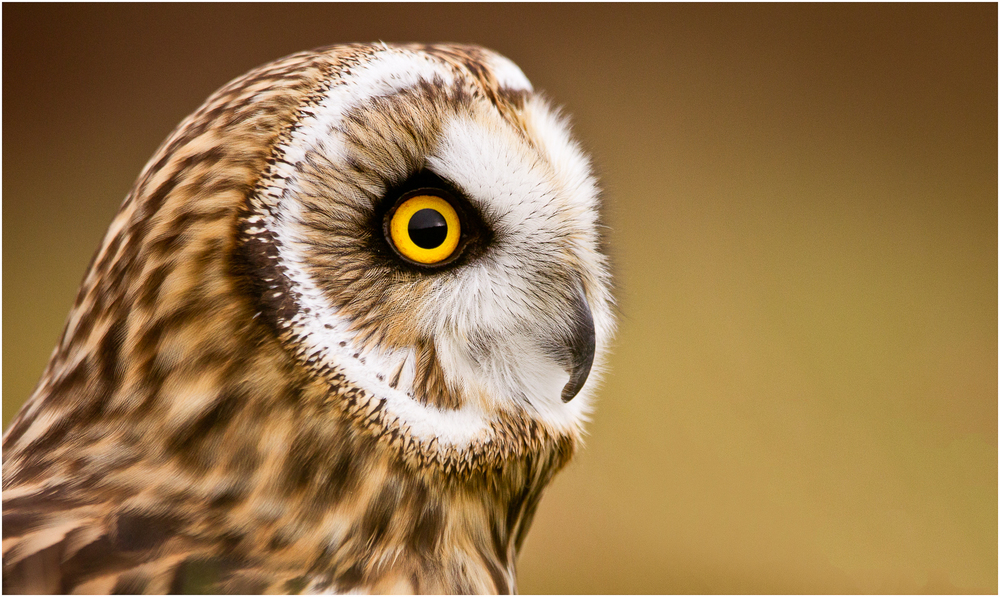 Owl in Profile.jpg