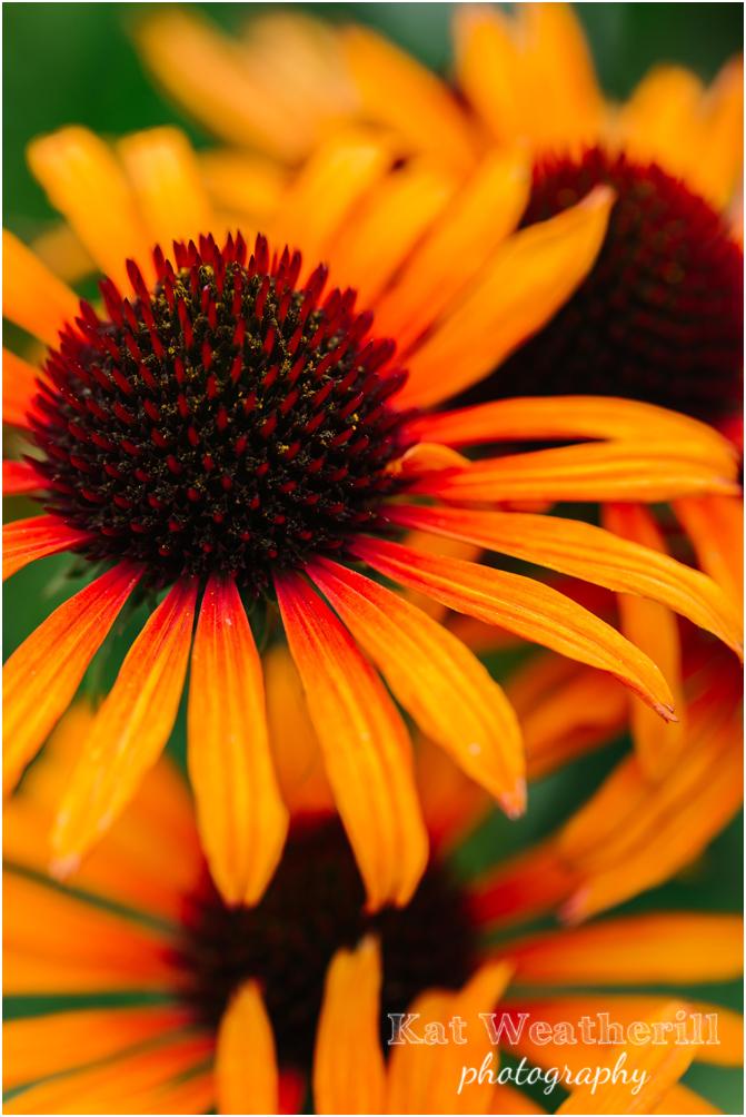 Echinacea_orange_passion.jpg