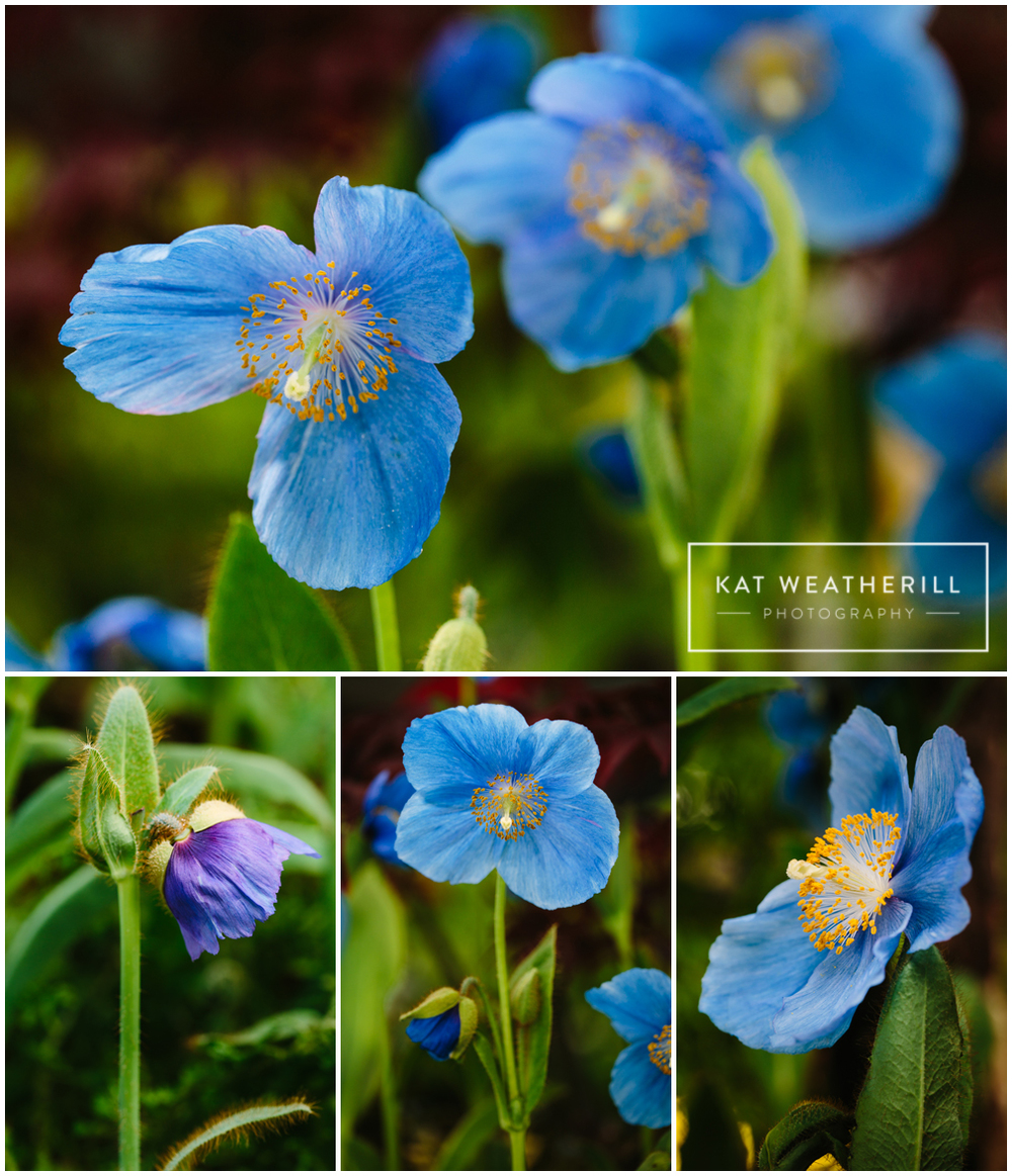 Meconopsis Lingholm - Himalayan Blue Poppy