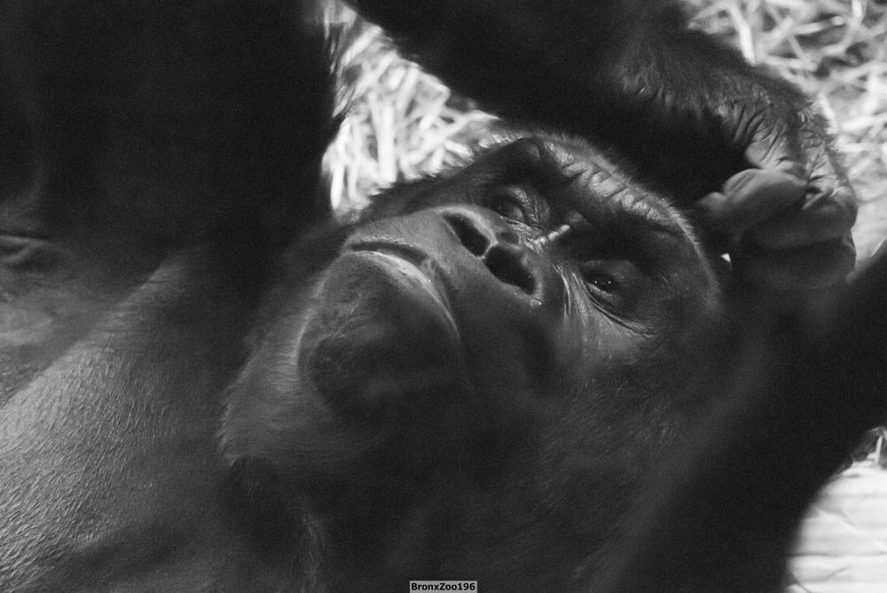 Gorilla02-002.jpg