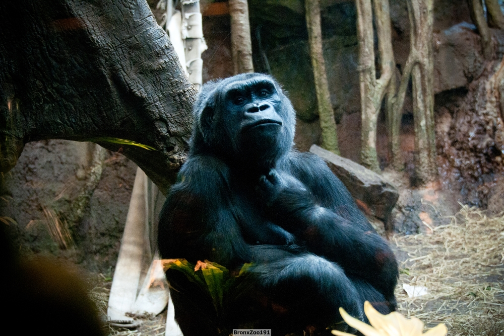 Gorilla03-003.jpg