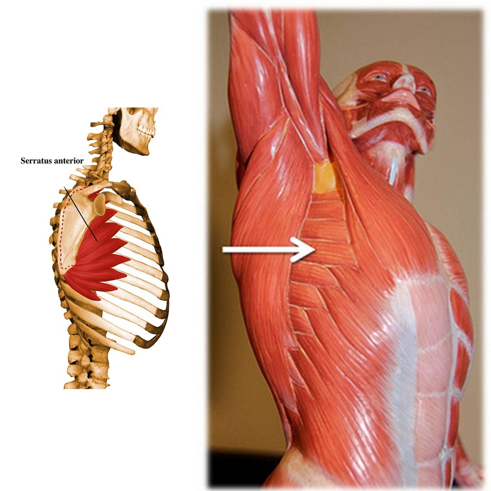 Muscle Of The Month Serratus Anterior Your Way To Bliss In Planks