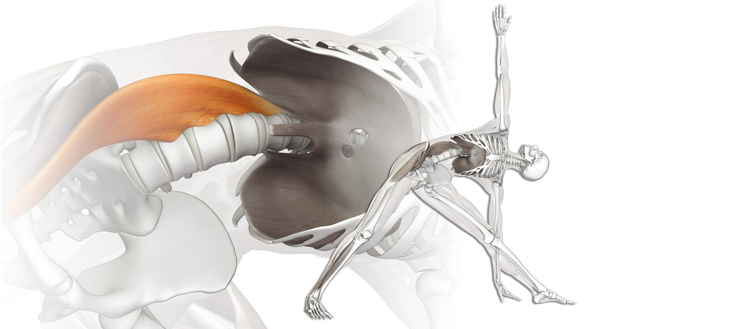 Muscle of The Month: Psoas - Core Power or a Pain in the Back? — CS ...