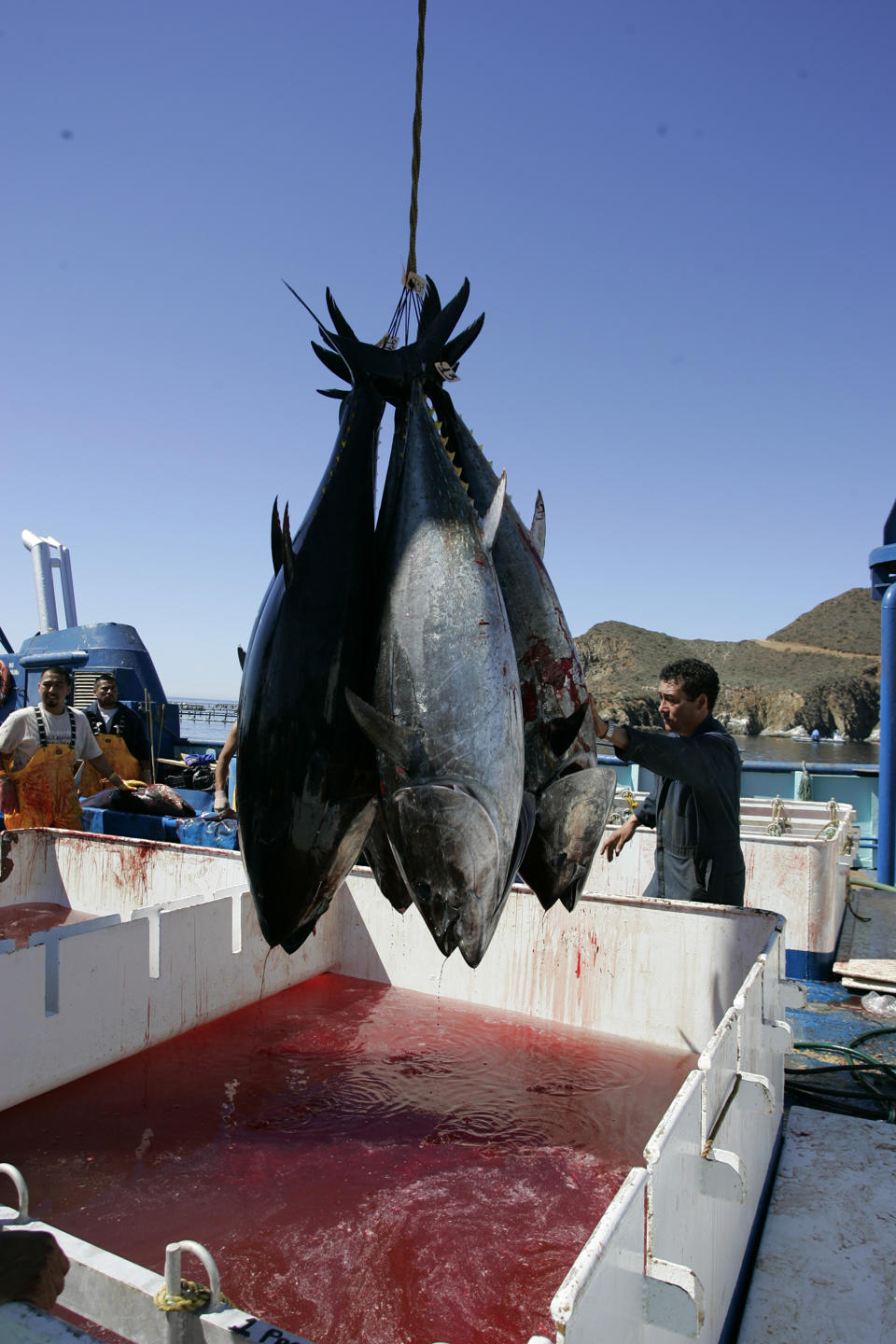 Radioactive bluefin tuna.  Contaminated by radiation from Fukushima diaster.  Radio activity continues to travel through the Pacific ocean.