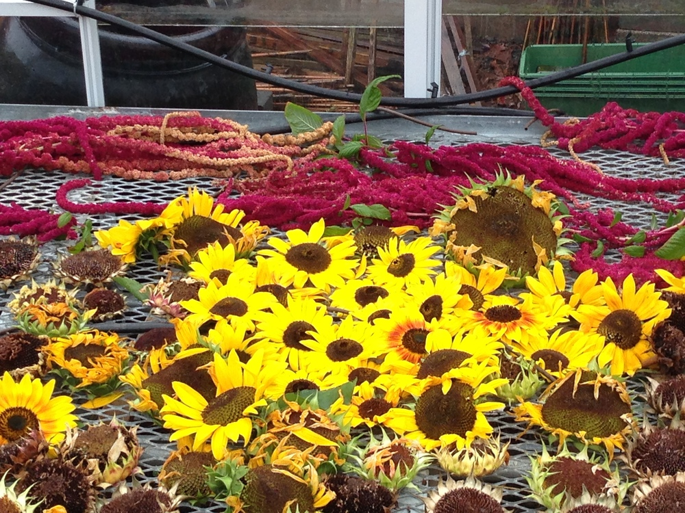Flowers drying out for seed saving