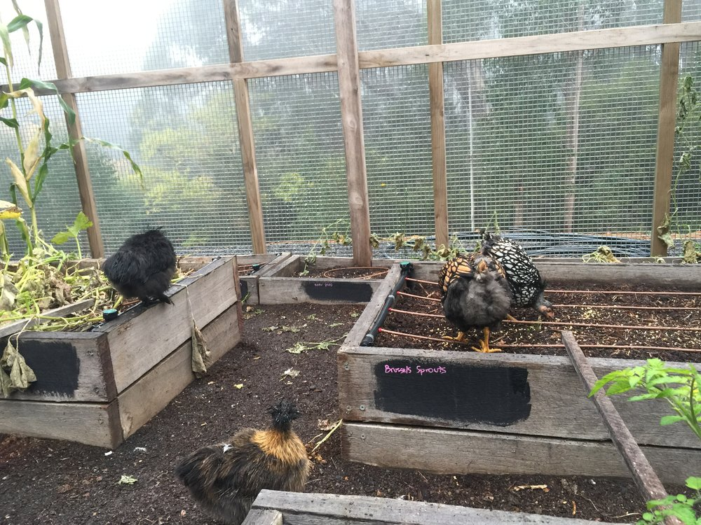 The hens making an absolute mess of what was left of the annual vegetables.