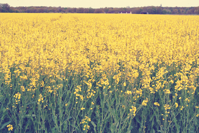 loire_valley_yellow_fields_of_flowers_france_aspiring_kennedy.jpg