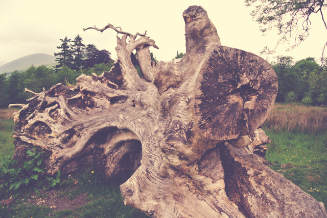 old_tree_stump_luss_scotland_aspiringkennedy.jpg