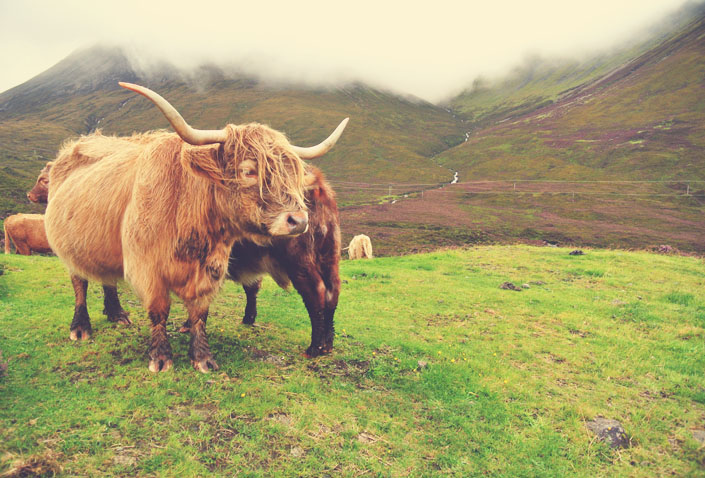 highland_cow_scottish_highland_coo_scotland_aspiring_kennedy.jpg