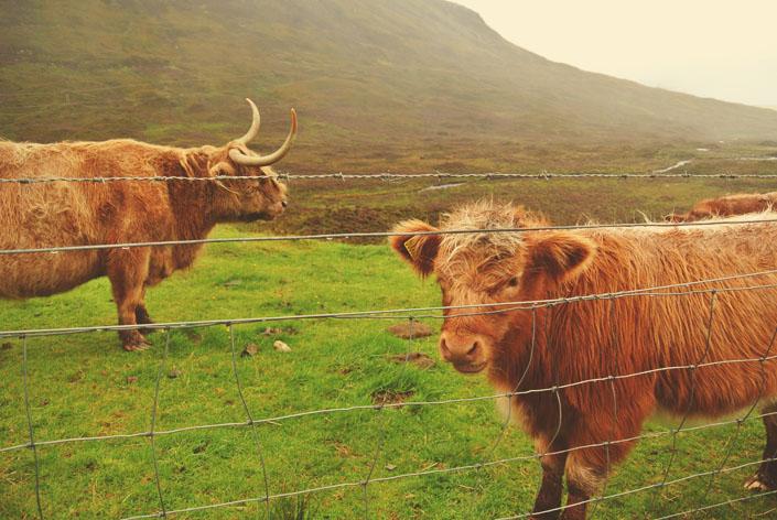 highland_coo_isle_of_skye_aspiring_kennedy.jpg