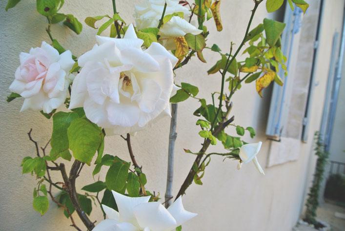 french_roses_aspiringkennedy.jpg