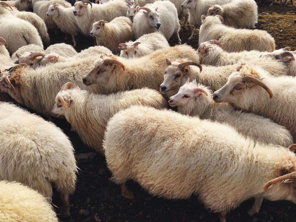 icelandic_sheep_aspiringkennedy.jpeg
