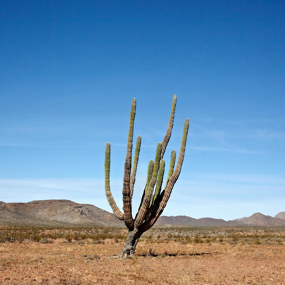 Los Cirios Cactus.jpg