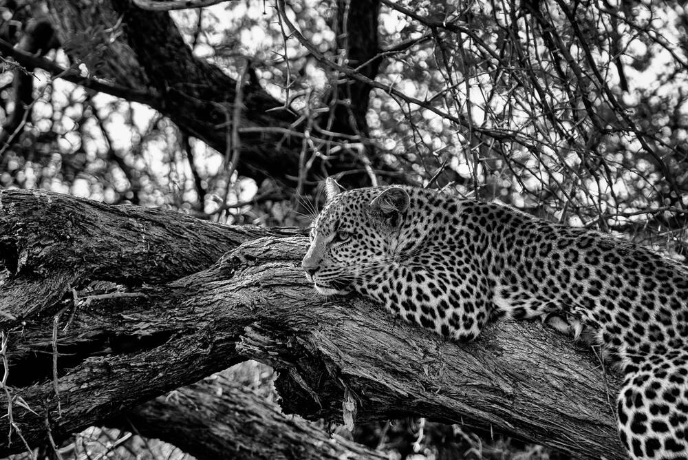leopard-in-tree.jpg