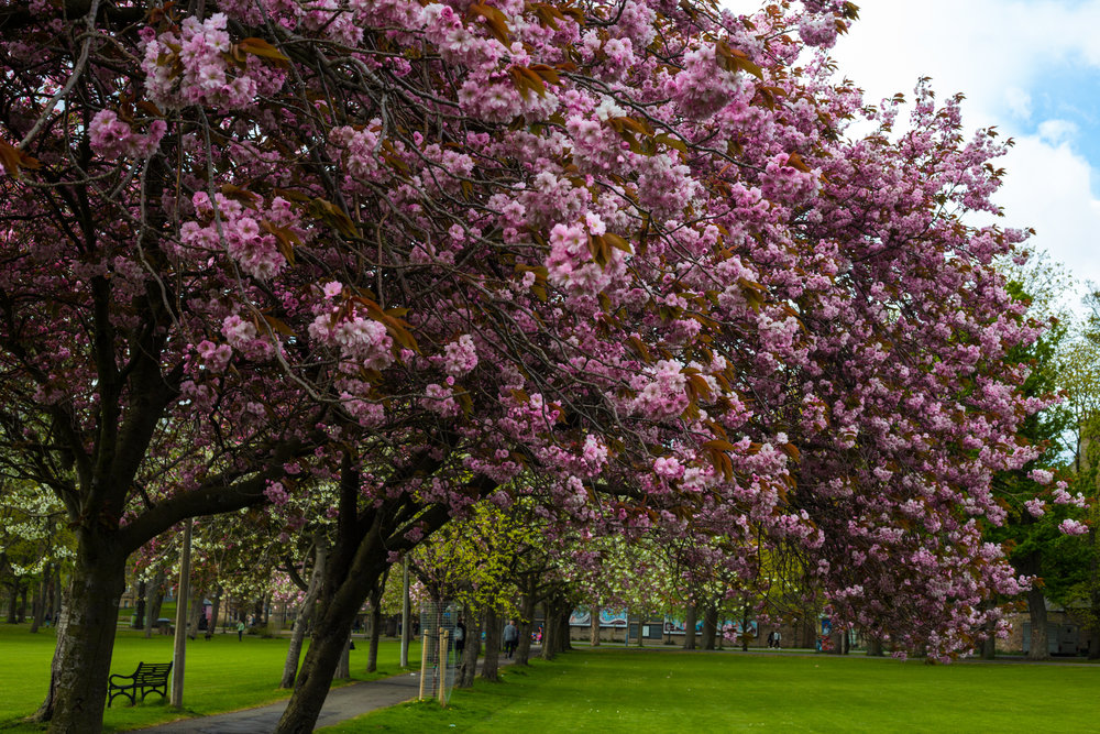 Cherry Blossom, The Meadows.