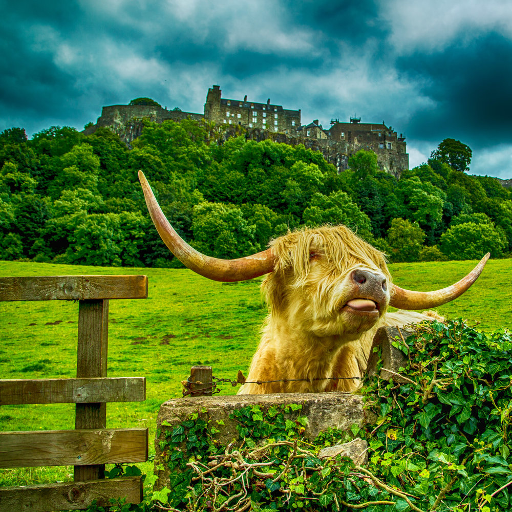 Highland Cow at Stirling Castle