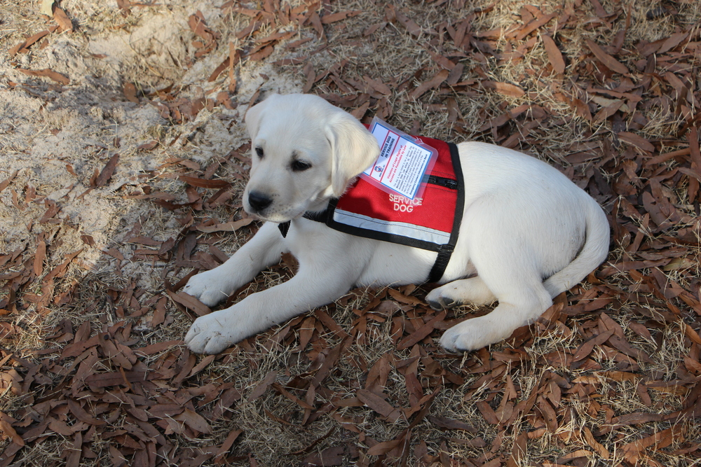 """Mitch"" service-dog-in-training"