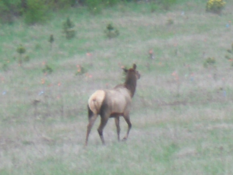 elk in the field